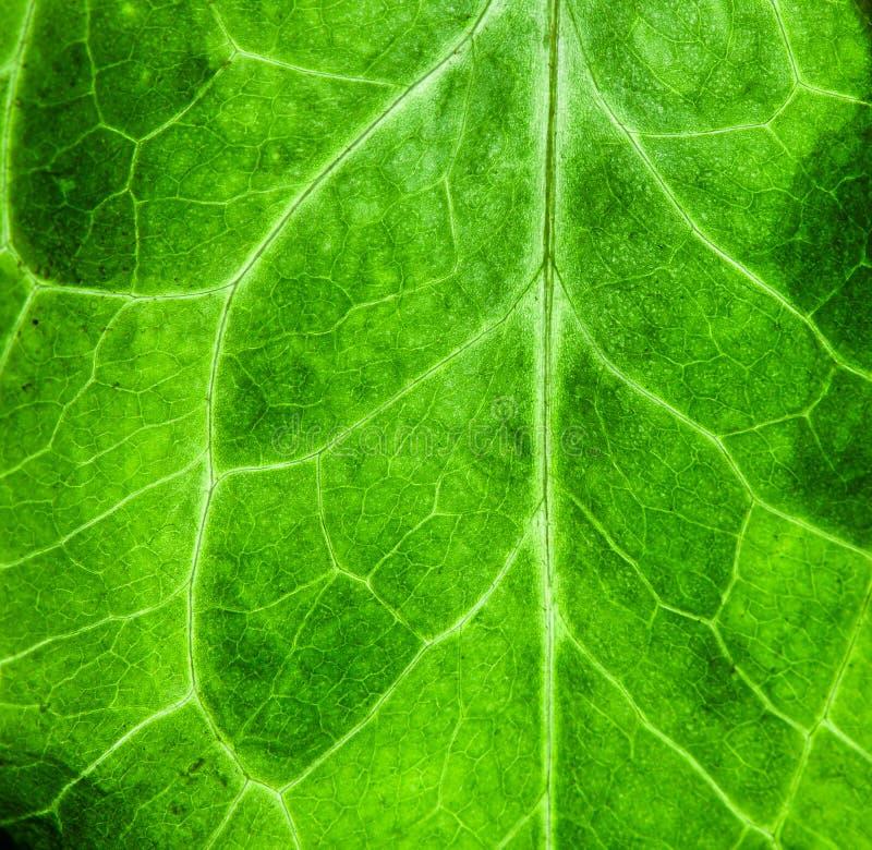 Предпосылка текстуры биологии зеленого цвета фото крупного плана макроса свежей зеленой структуры лист изрезанной поверхностной в стоковое изображение