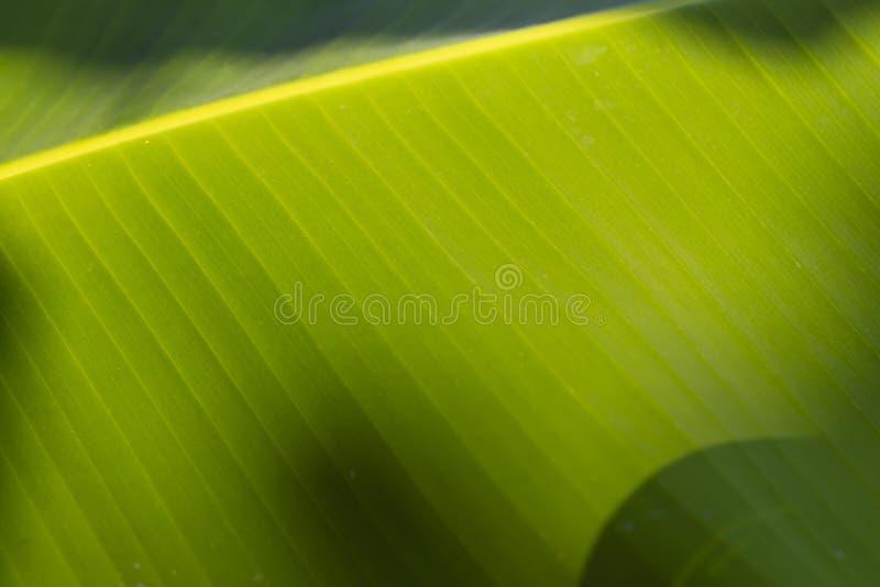 Предпосылка текстуры разрешения зеленого цвета банана стоковые изображения