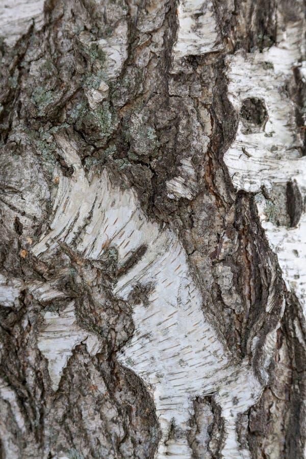 Предпосылка текстуры расшивы березы стоковая фотография rf