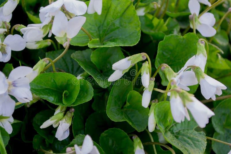 Предпосылка фиолета сада белая Предпосылка белых цветков стоковое изображение