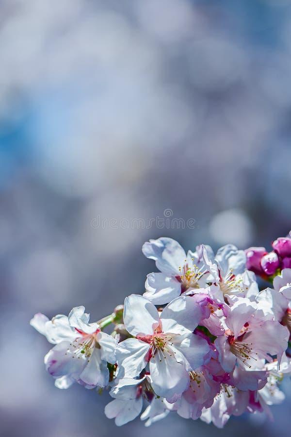 Предпосылка флористической весны нежная, зацветая вишня Сакура разветвляет стоковое фото