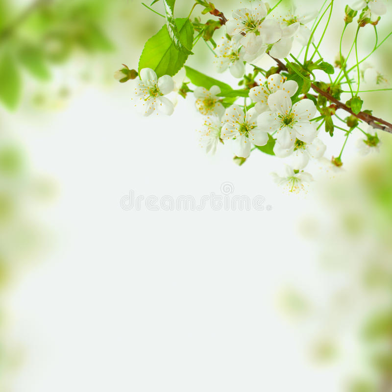 Предпосылка цветения весны, листья зеленого цвета и белые цветки стоковые изображения