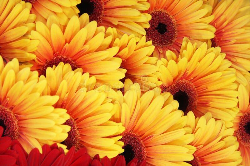 предпосылка цветет красный желтый цвет стоковая фотография rf