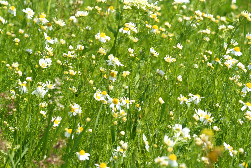 предпосылка цветет лето лужка одичалое стоковая фотография