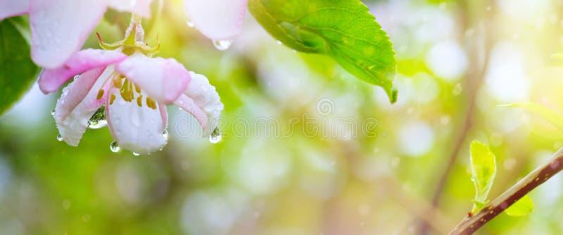 Предпосылка цветка весны зацветая; Красивые розовые цветение и весенний дождь дерева стоковые изображения