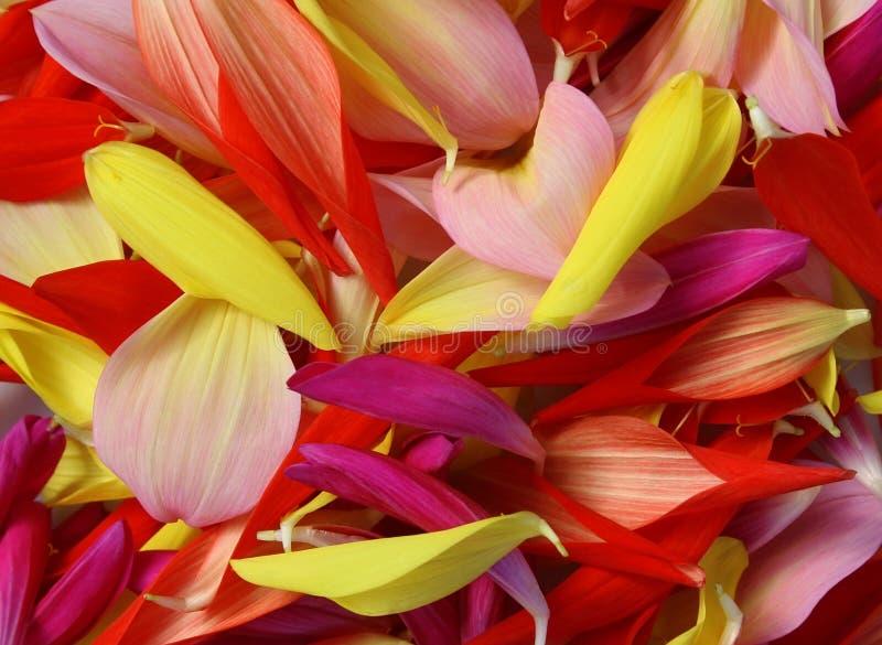Предпосылка цветка: лепестки цветков георгина стоковое изображение