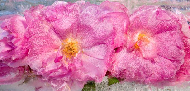 Предпосылка цветка розы пинка с зеленым цветом выходит замороженный в ic стоковое изображение