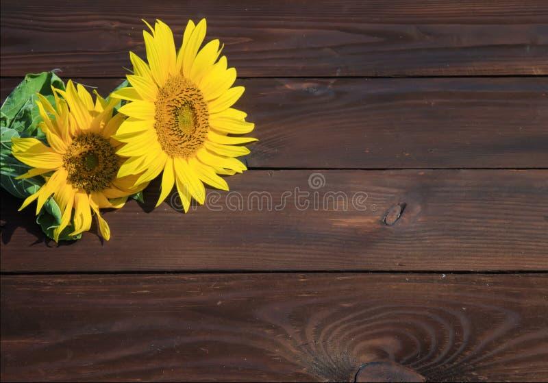 Предпосылка яркого желтого цвета солнцецвета цветка лета на старом woode стоковые фотографии rf