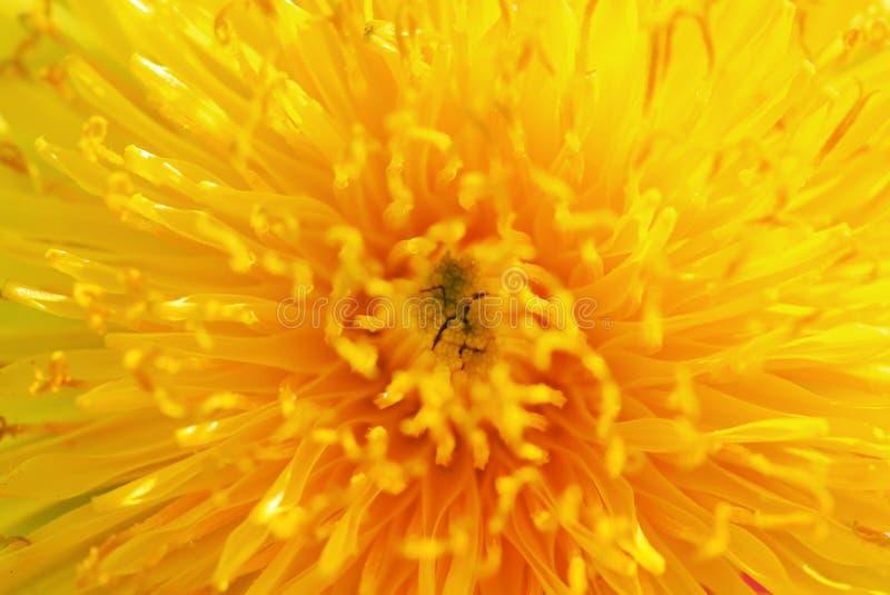 Предпосылка яркого цветка одуванчика желтого цвета солнца душистый nec стоковая фотография