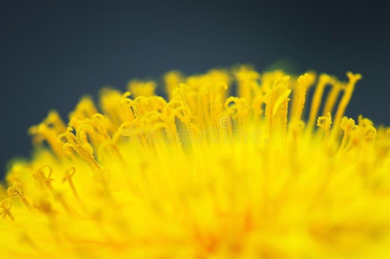 Предпосылка яркого цветка одуванчика желтого цвета солнца душистый nec стоковое фото rf