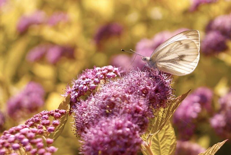 предпосылка bokeh макроса солнечного света конца-вверх цветка бабочки розовая внешняя стоковое изображение rf