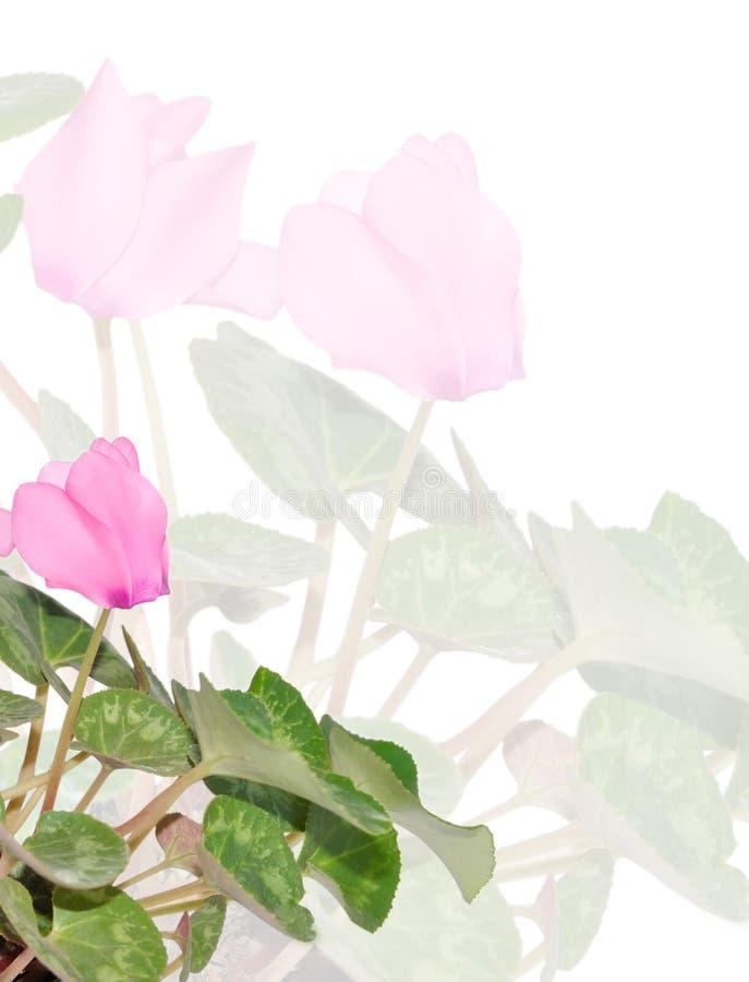 предпосылка cyclamen пинк цветка стоковая фотография rf