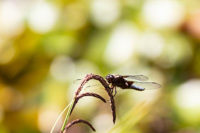 Предпосылка Dragonfly Крупный план Широк-уплотненного depressa Libellula мужчины dragonfly истребителя с большими прозрачными кры стоковое фото rf