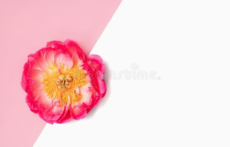 Предпосылка Minimalistic с ярким розовым цветком пиона на розовой и изолированной белизне r стоковые фото
