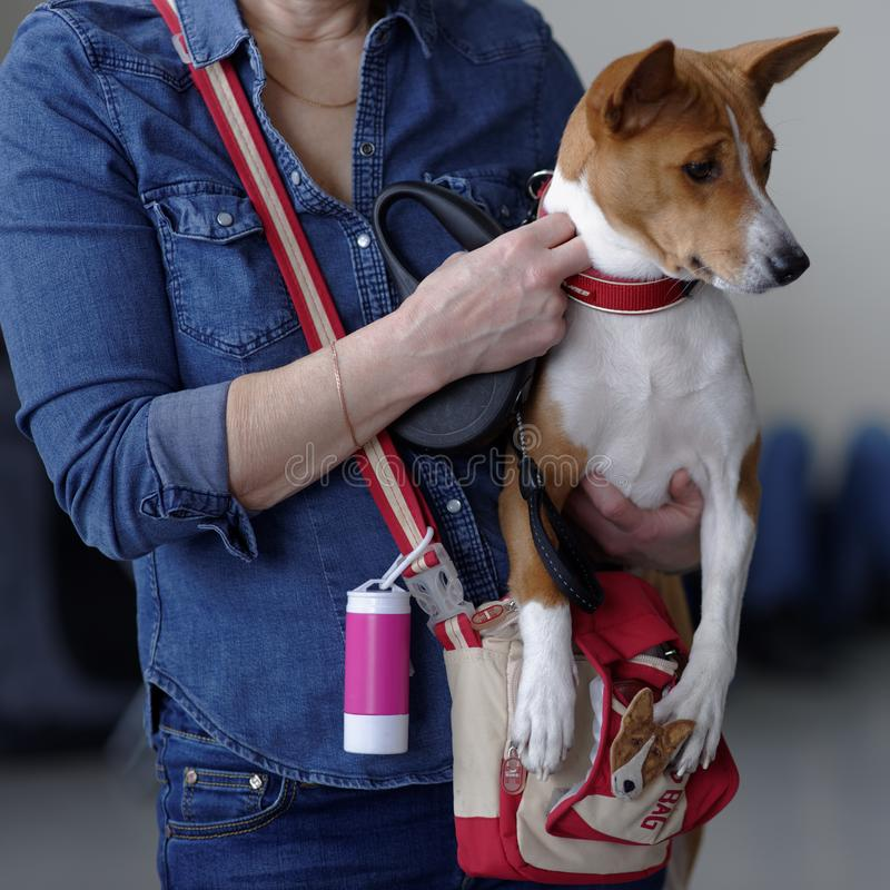 Предприниматель с ее собакой Basenji на выставке собак стоковое изображение