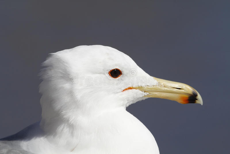 представленное счет море кольца чайки стоковая фотография