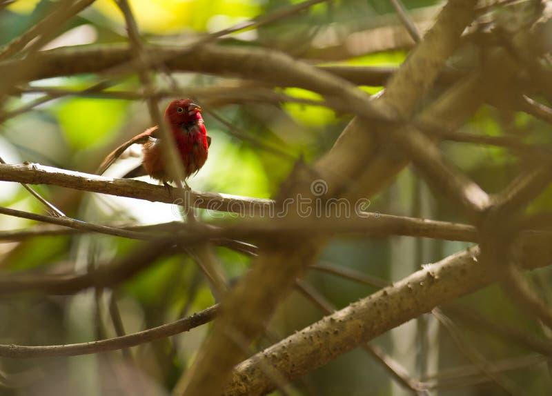 представленный счет ванной красный цвет пожара зяблика мыжской стоковое фото rf
