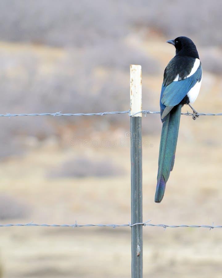представленный счет черный magpie стоковая фотография