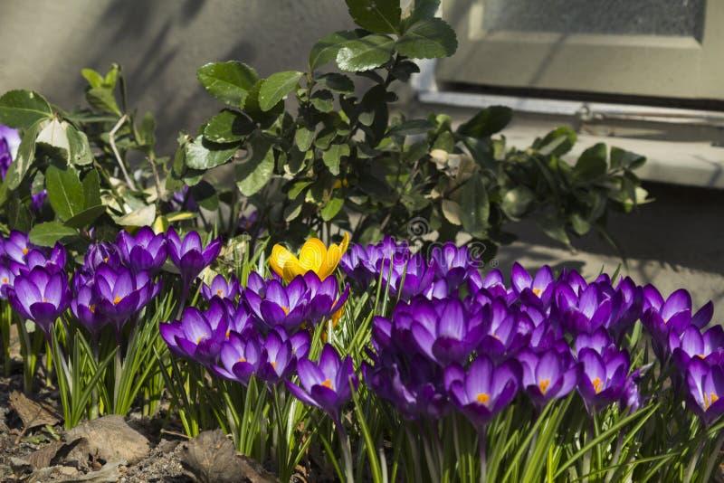 Предыдущая весна цветет перед стеной дома, в Стокгольме, Швеция стоковая фотография