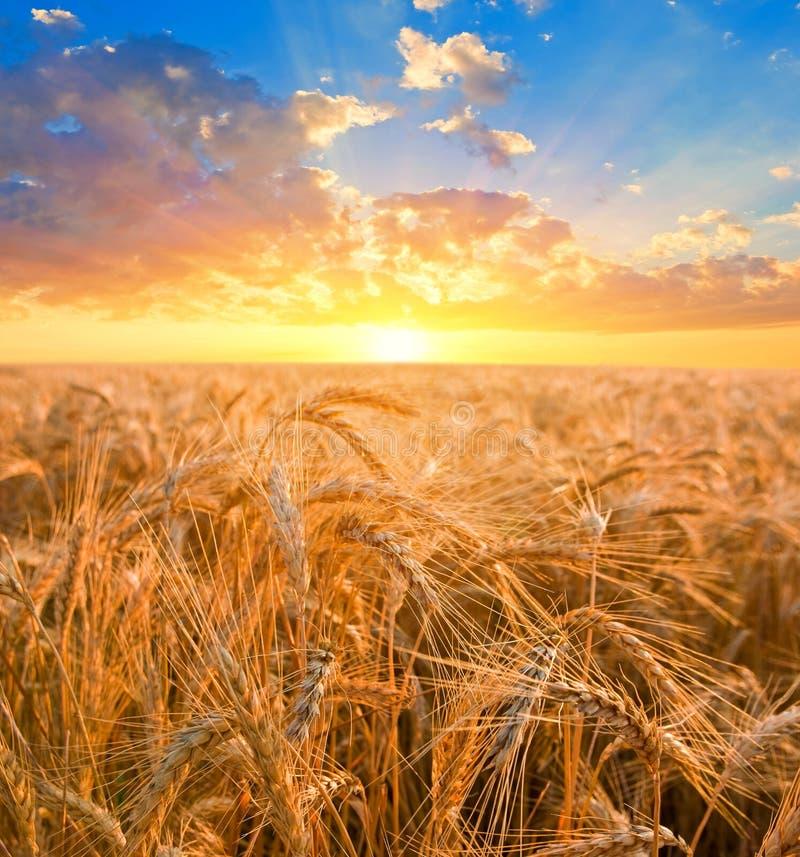 предыдущая пшеница утра полей стоковая фотография rf