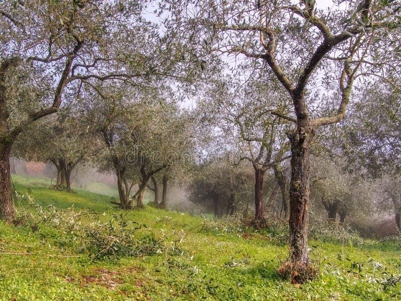 Предыдущее утро весны, все еще туманное, в итальянских оливковых рощах стоковое изображение rf