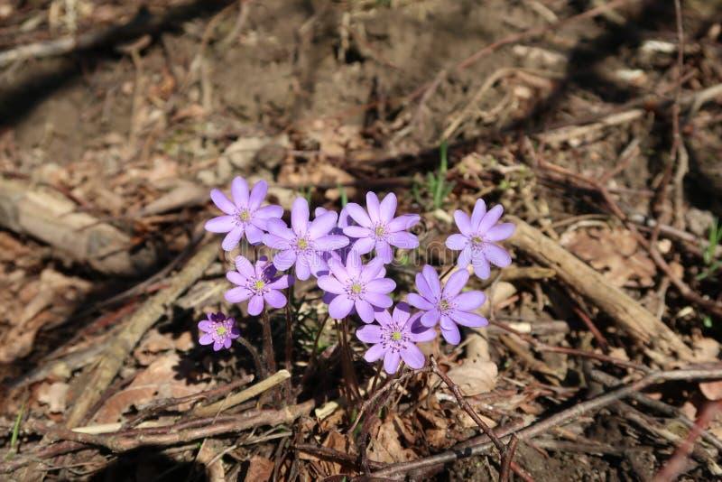 Предыдущие nobilis Hepatica цветка весны стоковые изображения rf