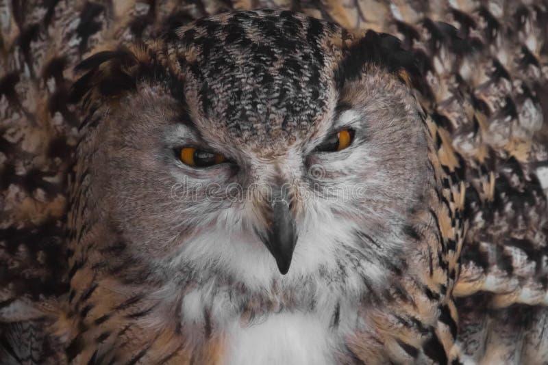 Презрительность Сыч с ясными глазами и сердитым взглядом большой захватнический сыч стоковое фото rf