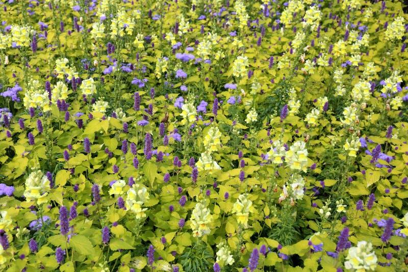 Прекрасная пурпурная, желтая и зеленая цветочная кровать стоковая фотография rf