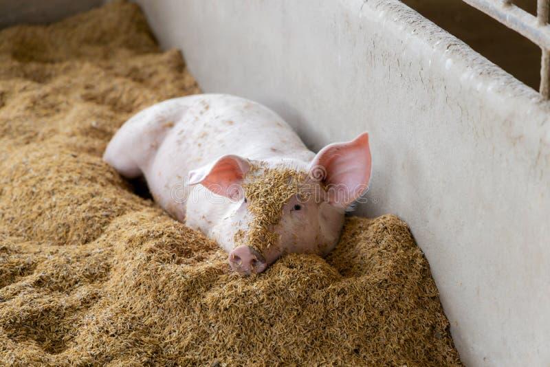 Прекрасная свинья в натуральном сельском хозяйстве Животноводство стоковое фото