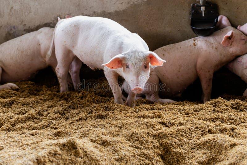 Прекрасная свинья в натуральном сельском хозяйстве Животноводство стоковые изображения