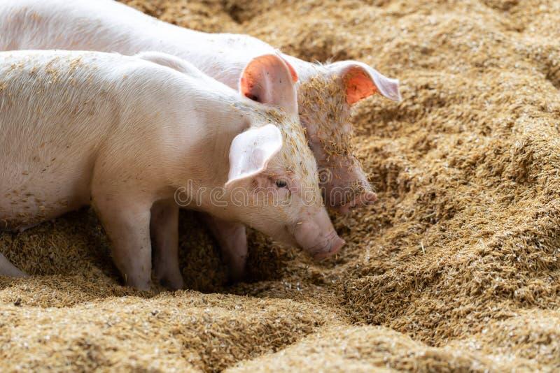 Прекрасная свинья в натуральном сельском хозяйстве Животноводство стоковая фотография