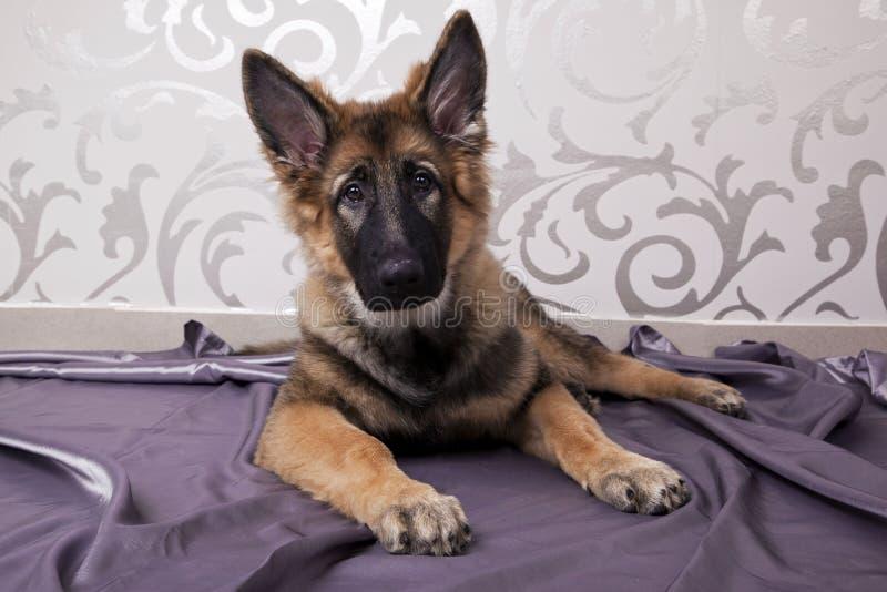 Прекрасная собака немецкой овчарки стоковые фото