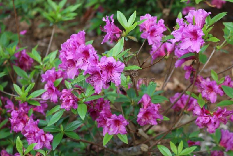 Прекрасные азалии зацветая весной на юге стоковые фото