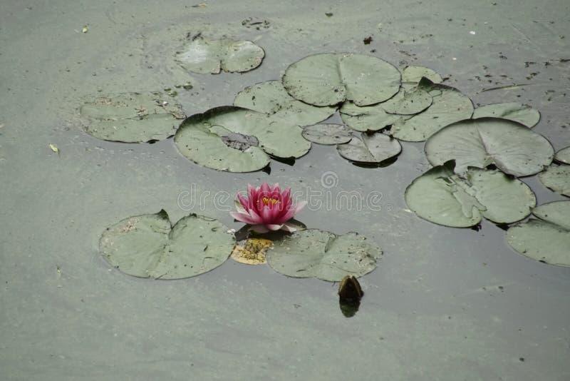 Прекрасный цветок в болотной зеленой грязной воде Красноводяная стоковые изображения rf