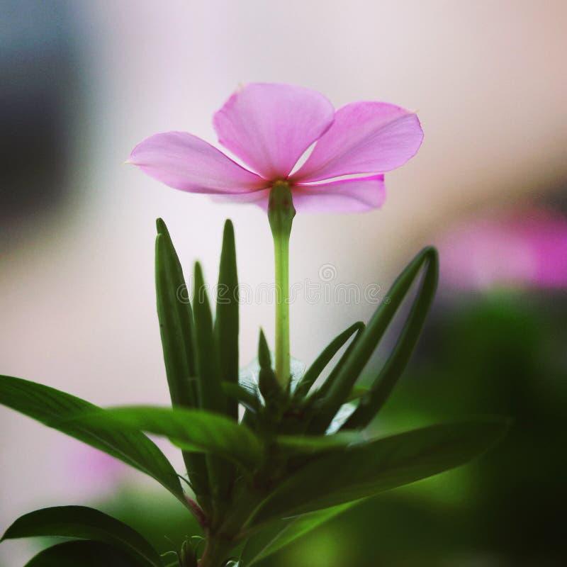 Прекрасный цветок в утреннее время стоковые изображения