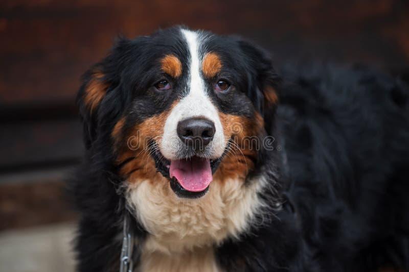 прелестная большая собака bernese горы стоковые изображения