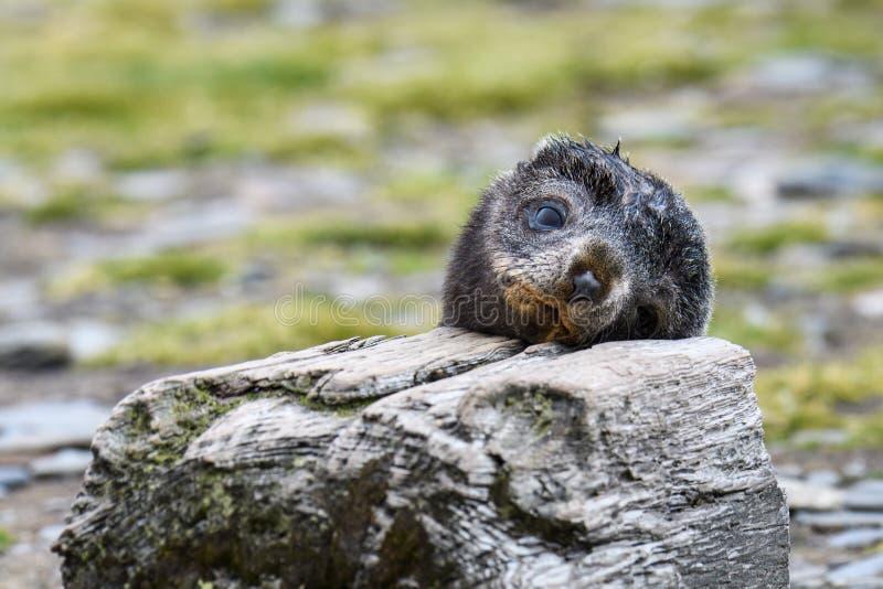 Прелестная голова на деревянном блоке на равнине Солсбери, Южная Георгия щенка морского котика отдыхая стоковая фотография rf
