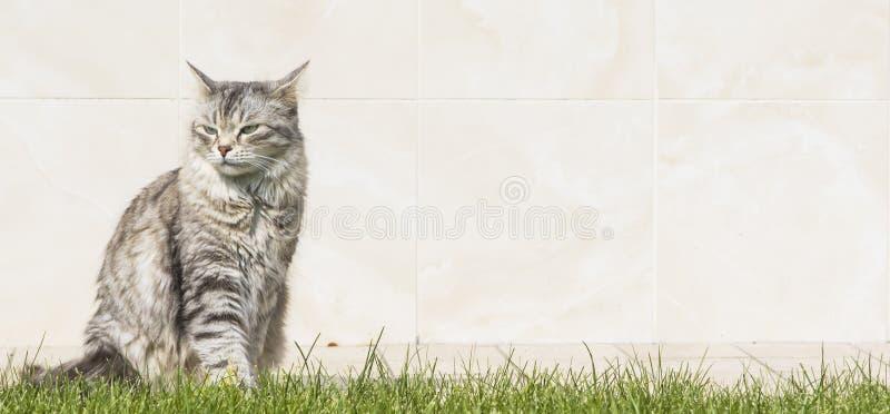 Прелестная домашняя кошка, серебряная сибирская женщина стоковое изображение