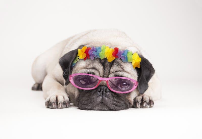 Прелестная жалостливая собака щенка мопса, лежа вниз плоско нося гаваиская гирлянда цветка и розовые солнечные очки стоковые фотографии rf