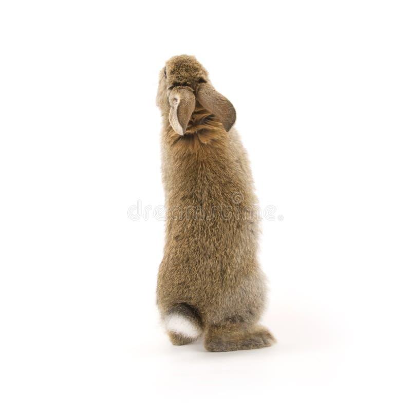 прелестная изолированная белизна кролика стоковая фотография rf