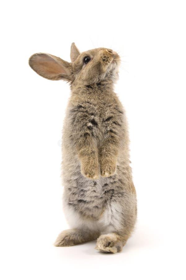 прелестная изолированная белизна кролика стоковое изображение
