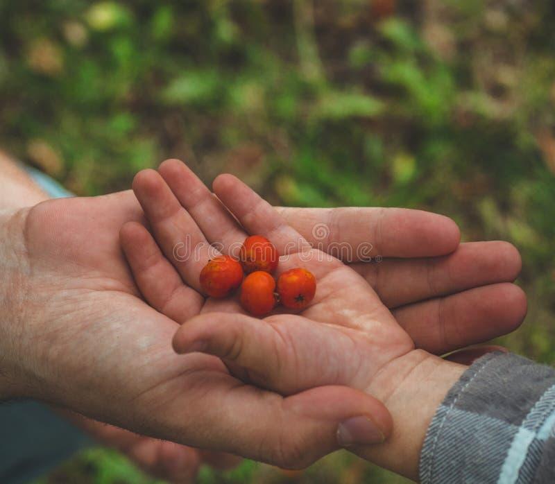 Прелестная комплектация руки младенца ashberry с руками людей и смотреть на предпосылке природы closeup стоковая фотография rf