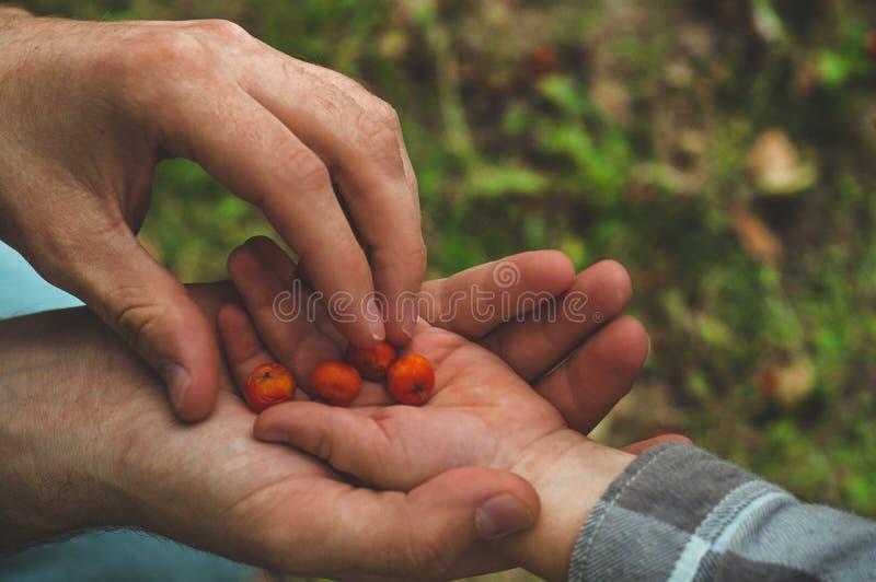 Прелестная комплектация руки младенца ashberry с руками людей и смотреть на предпосылке природы closeup стоковые изображения rf