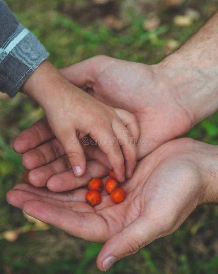 Прелестная комплектация руки младенца ashberry с руками людей и смотреть на предпосылке природы closeup стоковые фото