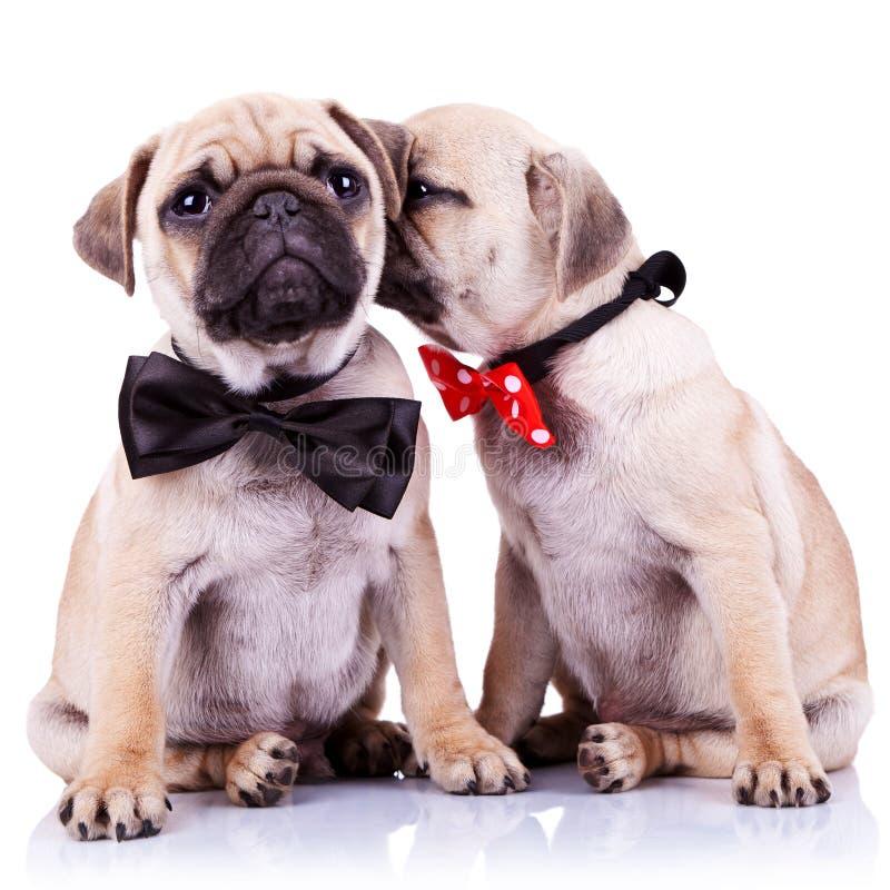 прелестная пара выслеживает щенка pug стоковое изображение