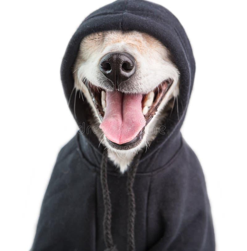 Прелестное усмехаясь muzle собаки hoodie очаровывая сторона любимца гангстера Белая предпосылка стоковая фотография rf