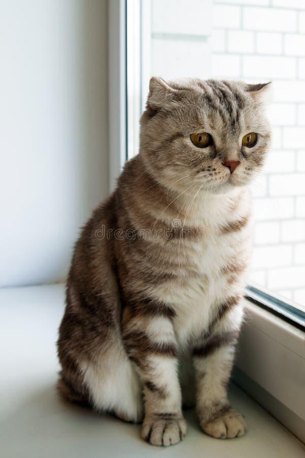 Прелестные пушистые серые Scottish tabby складывают кота с желтыми глазами стоковое изображение
