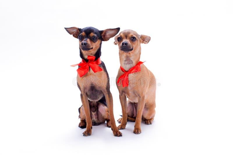 Прелестные собаки родословной с красными смычками стоковая фотография rf