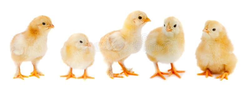 прелестные цыпленоки стоковое изображение