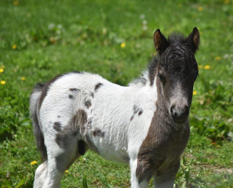 Прелестный белый и черный миниатюрный осленок лошади в Пенсильвании стоковая фотография rf